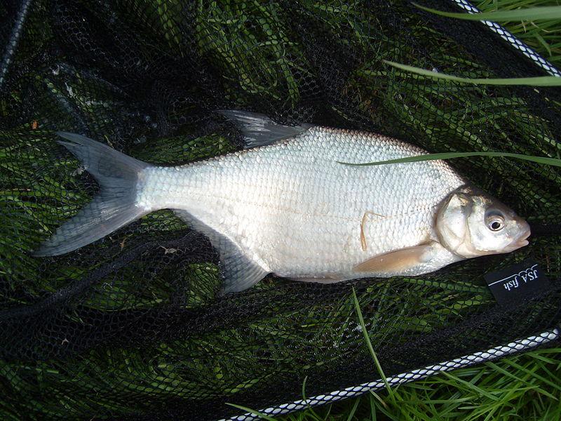 Brachsen angeln in Schweden