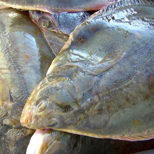 blattfisch in Schweden